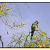 Parrot in my Parkinsonia tree, back garden.