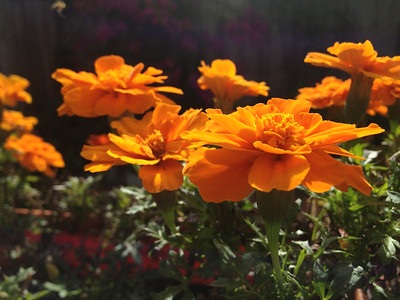 The best marigolds!