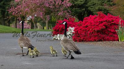 Geese walking by azalea