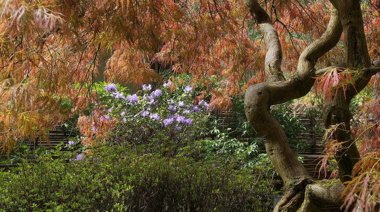 Purple azalea