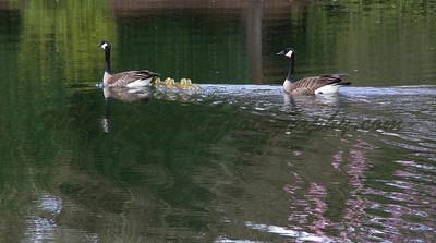Geese flotilla