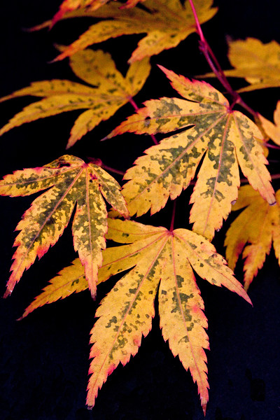 ACER PALMATUM LEAVES ON BLACK BACKGROUND