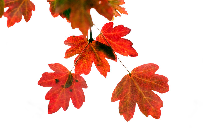 Acer Campestre 'Evenly Red'