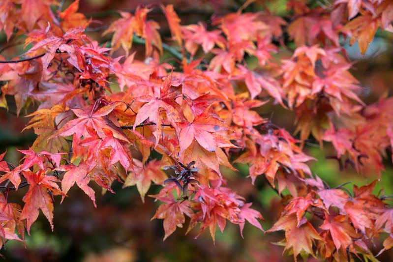 Acer Palmatum 'Osakasuki'