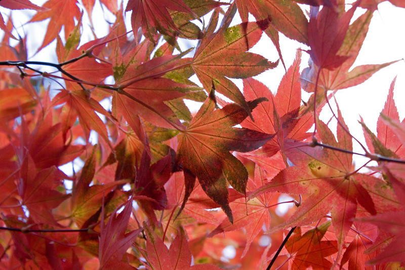 ACER PALMATUM LEAVES BACKLIT