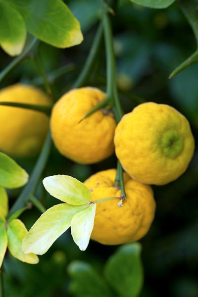Poncirius Trifoliata