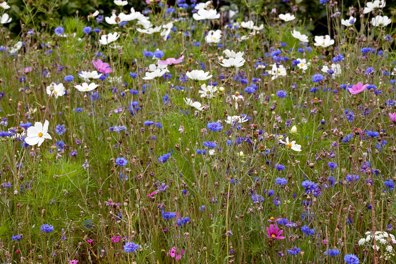 Cosmos and cornflowers in association