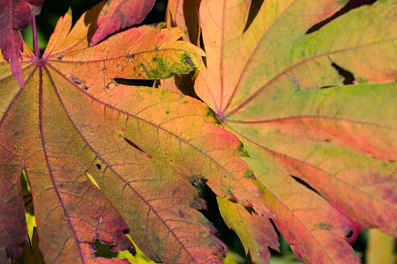 ACER PALMATUM LEAVES IN AUTUMN