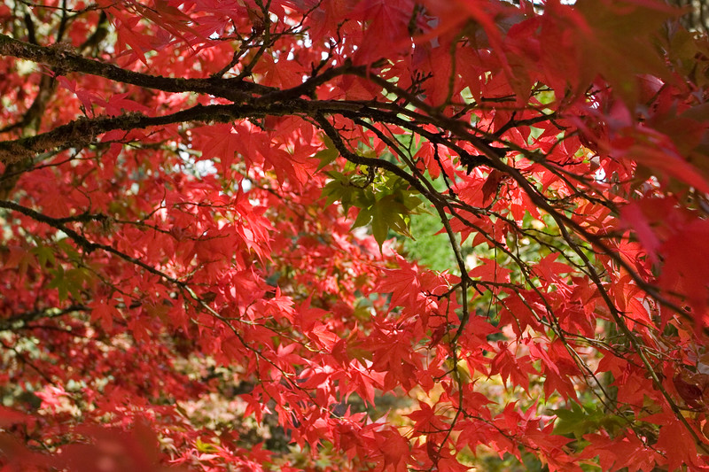 ACER PALMATUM, JAPANESE MAPLE, IN AUTUMN