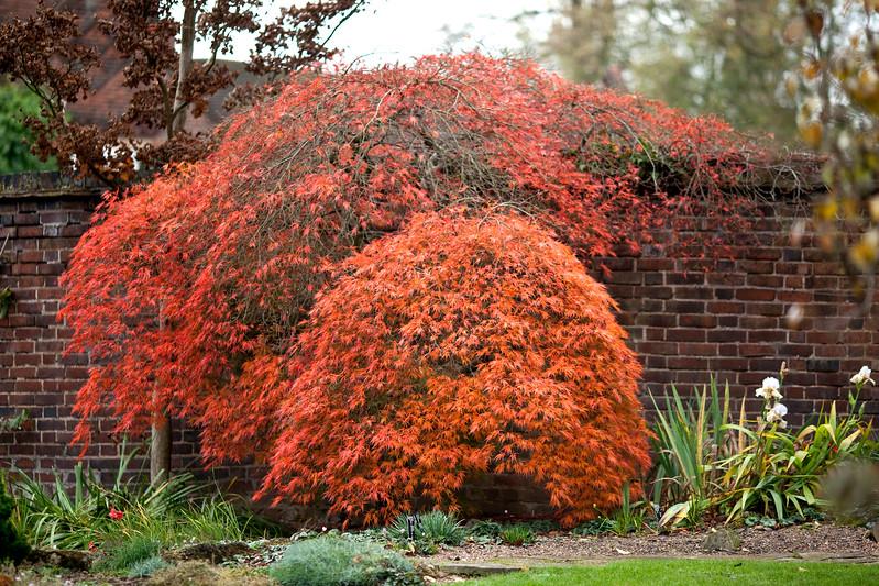 Acer Palmatum Dissectume Atropurpureum