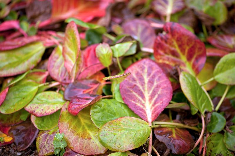 Bergenia leaves
