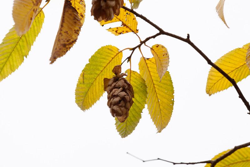Carpinus Japonica