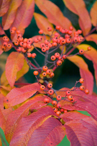 SORBUS SARGENTIANA CLOSE UP