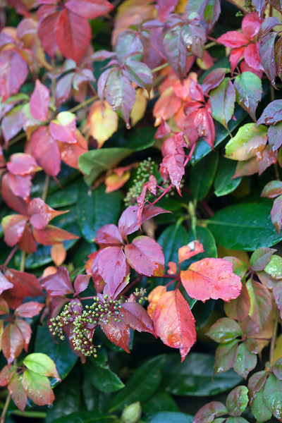 Parthenocissus at Winterbourne Botanic Garden