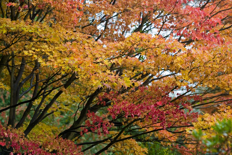 ACER PALMATUM, TURNING YELLOW AND RED