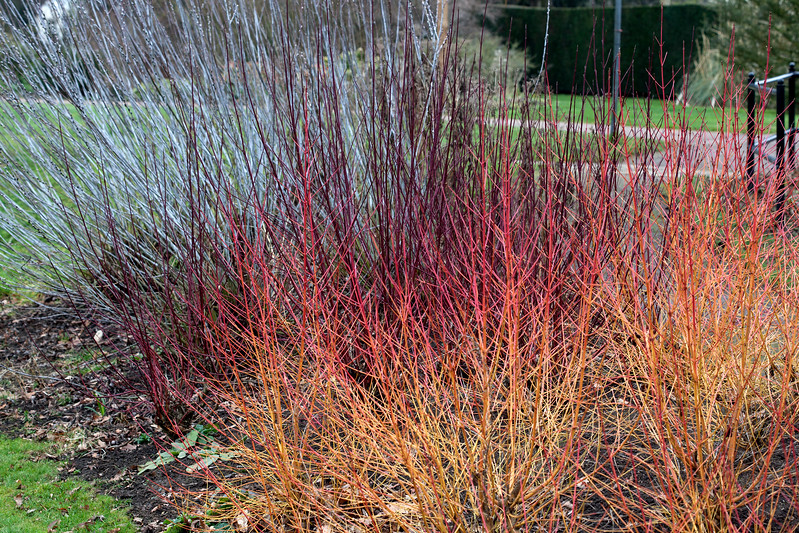 Salix Irrorata and Salix Alba Chermesina red and orange