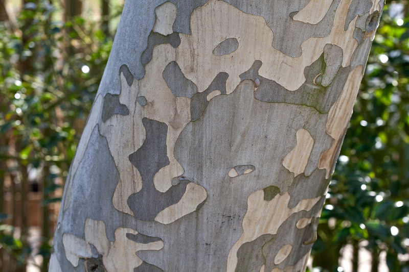 Eucalyptus Pauciflora sub.Niphophylla
