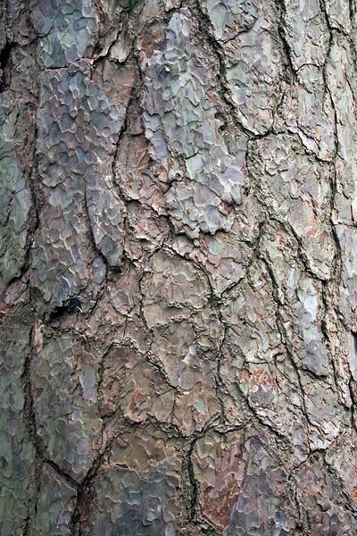 Pinus Sylvestris, Scot's Pine