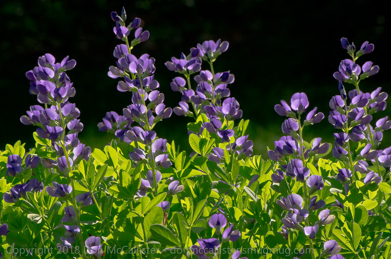 Baptisia in morning light