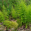 Ferns in herb garden