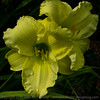 "Daylilly ""Irish Ice"" #3"