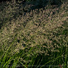 Grasses in a summer breeze