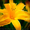 Daylily welcome