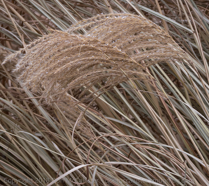 Miscanthus waves #6