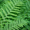 Ferns at rest