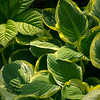 Hosta and rogersia