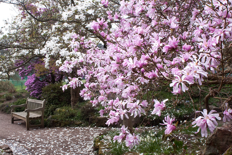 view of Magnolias at Birmingham Botanical Gardens