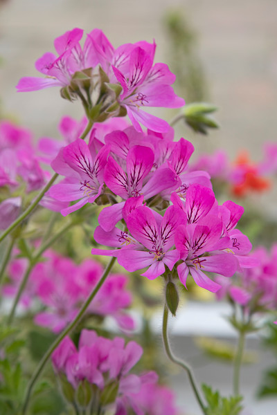 Pelargonium 'Pink Capitatum' at Birmingham Botanical Gardens and Glasshouses, April,