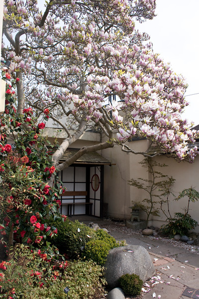 Magnolia and camellia at Birmingham Botanical Gardens Japanese Garden