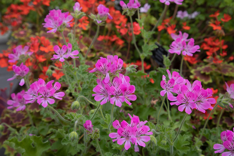 Pelargonium 'Pink Capitatum' at Birmingham Botanical Gardens and Glasshouses, April,