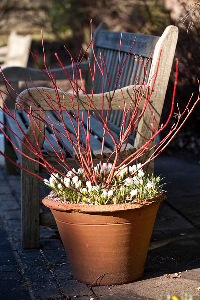 Cornus Alba 'Red Selection', and Crocus 'Snow Bunting'