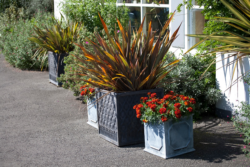 Phormium and tagetes in metal planters at Birmingham Botanical Gardens