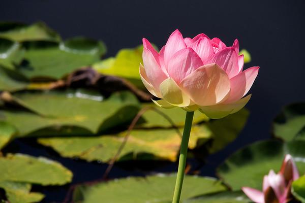 Blue Lotus 1_03