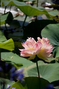 Blue Lotus 1_04