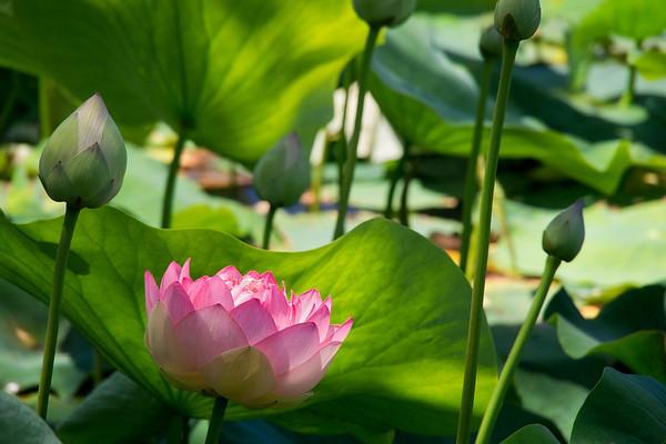 Blue Lotus 1_06
