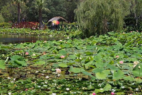 Blue Lotus 1_11
