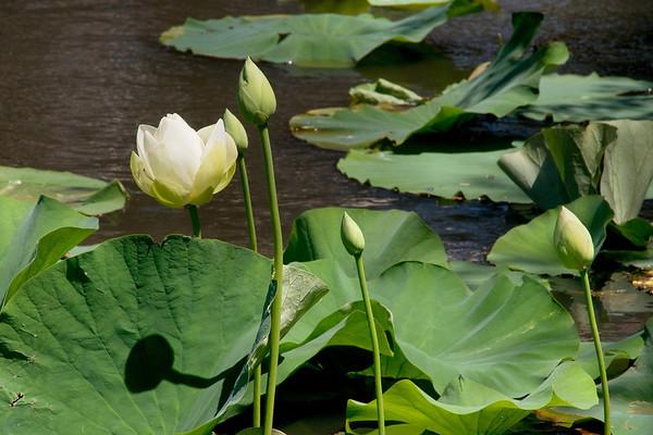 Blue Lotus 1_10