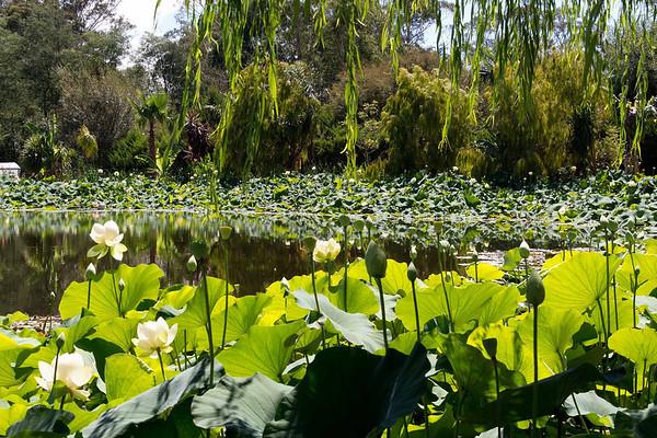 Blue Lotus 2_01