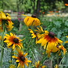 "GLORIOSA DAISIES (also known as  Black-eyed Susans)<br /> <br /> ""INDEPENDENCE PARK BOTANIC GARDENS"" 2011<br /> Baton Rouge, LA"