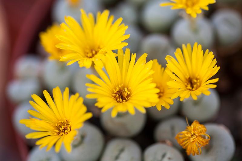 Yellow Conophytum Bilobum