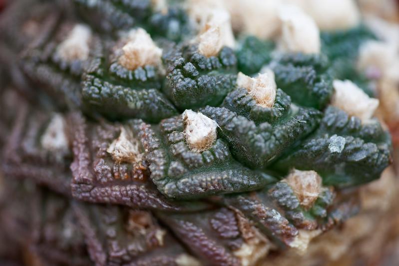 Ariocarpus Fisuratus v. Lloydii
