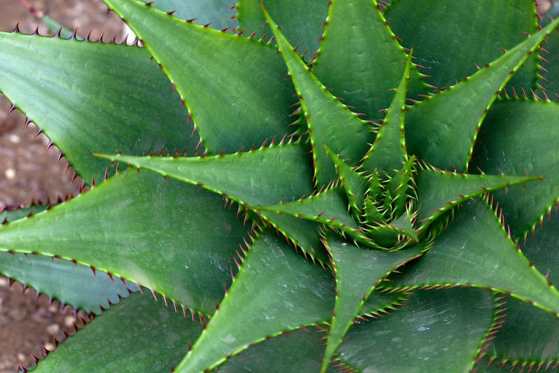 Aloe Brownii