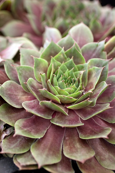 Sempervivum Commander Hay