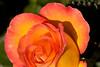 rose7164(4x6)