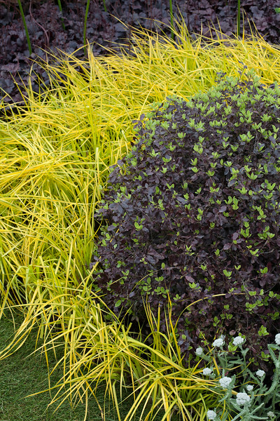 The SeeAbility Garden, Carex elata 'Aurea', surrounding balls of buxus, with heuchera 'Obsidian';