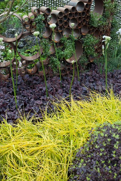 The SeeAbility Garden, Carex elata 'Aurea', surrounding balls of buxus, with heuchera 'Obsidian'